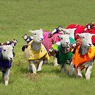 Racing sheep by Martyn Franklin