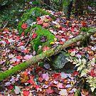 Mizzy Lake Trail, Algonquin Park  by Nancy Barrett