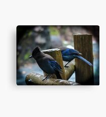 Stellar Jays on a drizzly afternoon Canvas Print