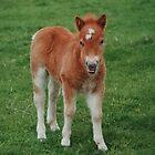 Cute Shetland Pony by AnnDixon