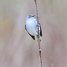 Blue-Gray Gnatcatcher  by Nancy Barrett