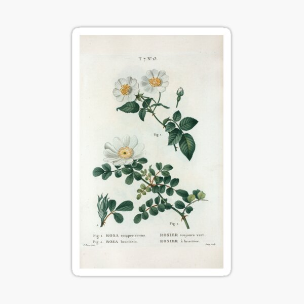 Traité des Arbres et Arbustes 0188 Fig 1 Rosa semper virens Rosier toujours vert Fig 2 Rosa bracteata rosier à bractées Ever green rose Macartney ros Sticker