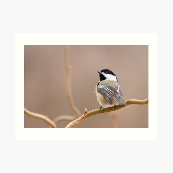 Chickadee in Filbert Art Print