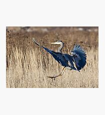 Great Blue Heron Landing Photographic Print