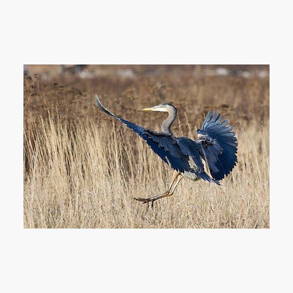 Great Blue Heron Landing Photographic Print