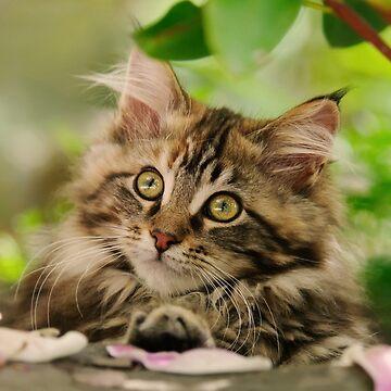 Cute Maine Coon Cat Kitten Photo Portrait by kathom
