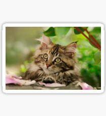 Cute Maine Coon Cat Kitten Photo Portrait Sticker