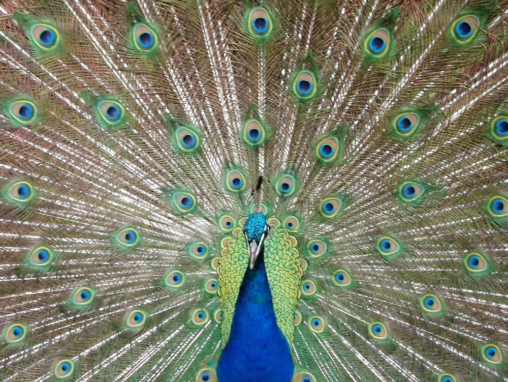 Peacock by styles