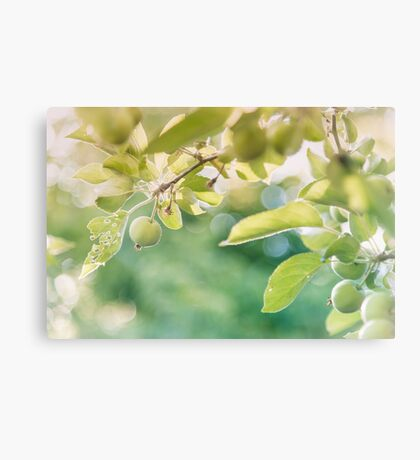Green Apples at Golden Hour Canvas Print