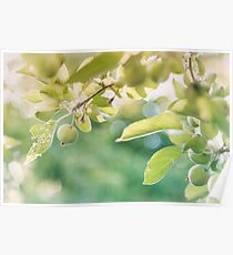 Green Apples at Golden Hour Poster