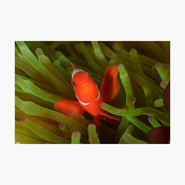 Spine-cheeked Anemonefish - Premnas biaculeatus Photographic Print