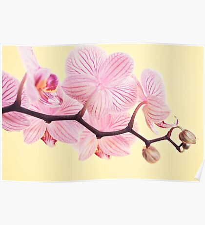Pink phalaenopsis orchid blossoms Poster