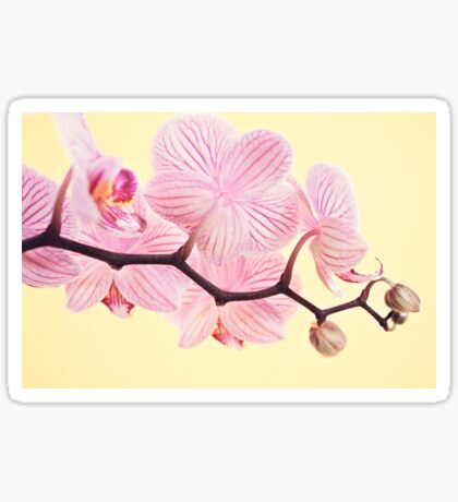 Pink phalaenopsis orchid blossoms Sticker
