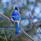 Blue Jay by Grinch/R. Pross