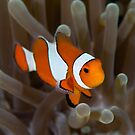 Clown Fish by James Deverich