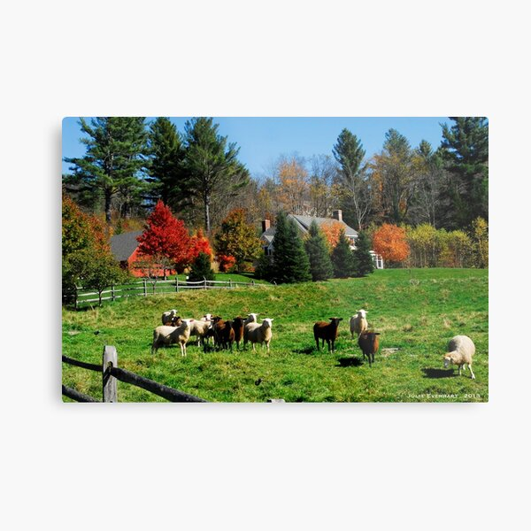 Sheep Farm in the Vermont Countryside Metal Print
