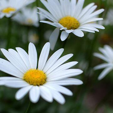 Daisy by sydneymariee