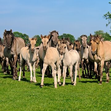 A Wild Herd of Dulmen Horses with Foals by kathom