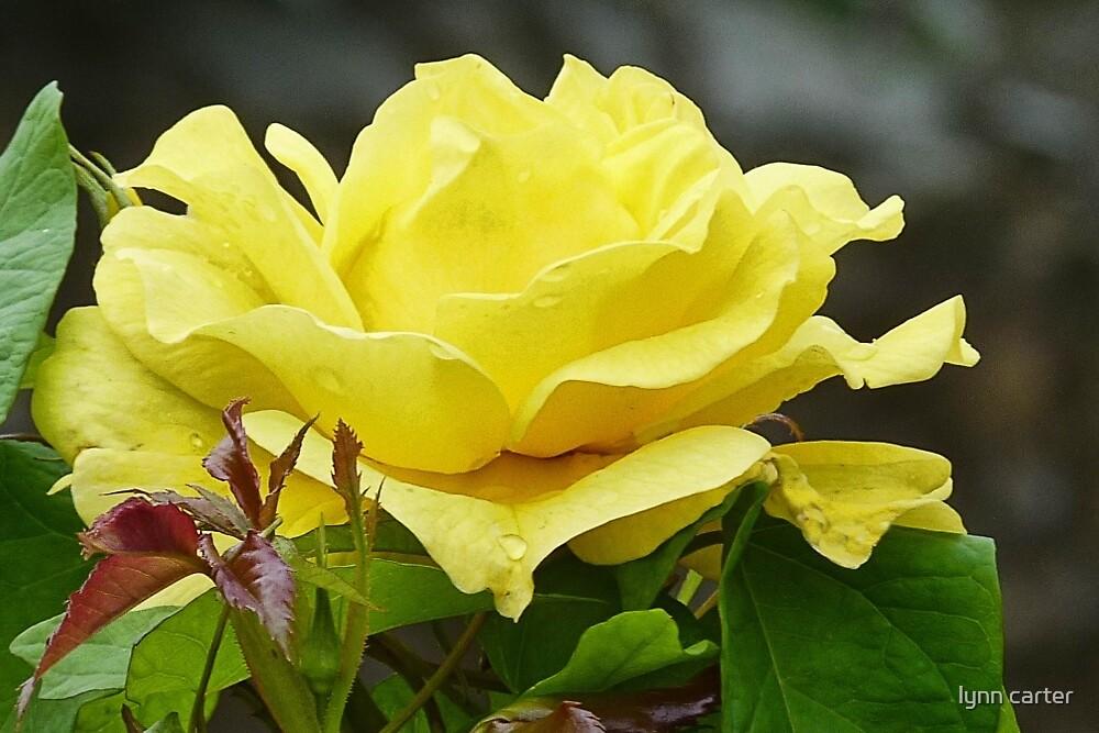 Lovely  Yellow  Rose by lynn carter