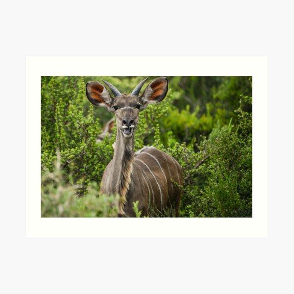 Chewing The Kudu  Art Print