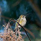 Kolibri sitzen von Peggy Collins