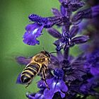 Bee and purple flower Leith Park Victoria 20160420 6852 by Fred Mitchell
