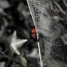Red Spider by Bob Martin
