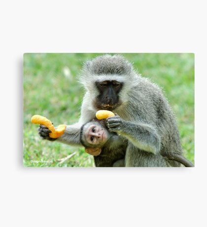 GROWNUPS ALWAYS GETS THE BEST - Vervet Monkey, (CERCOPITHECUS PYGERYTHRUS) Canvas Print