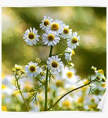 Artistic Ox-eye Daisies Poster