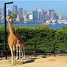 Giraffe with a view by Steven Guy