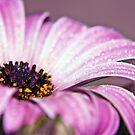 It's that Osteospermum again! by Lissywitch