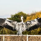 Heron by ABGPhotography
