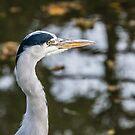 Heron Head by ABGPhotography