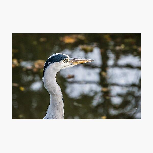 Heron Head Photographic Print