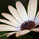Osteospermum Serena by Lissywitch