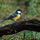 Great tit by ABGPhotography