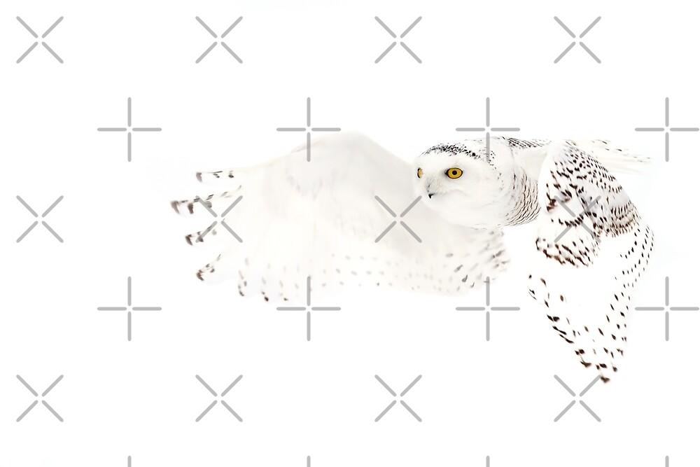 He went that away - Snowy Owl by Jim Cumming