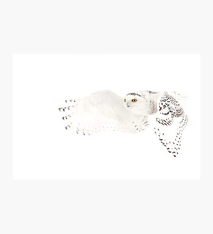 He went that away - Snowy Owl Photographic Print