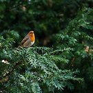 Robin In A Tree by ABGPhotography