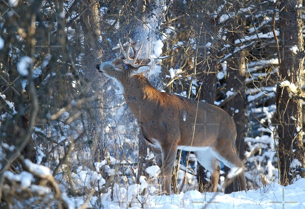 Snow Shower - White-tailed Buck by Jim Cumming