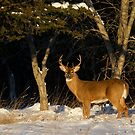 A Winters Sunset - White-tailed deer Buck by Jim Cumming