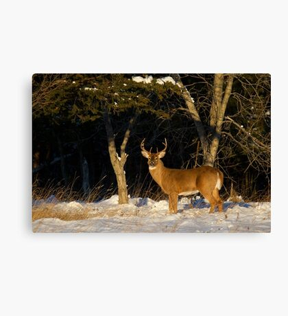 A Winters Sunset - White-tailed deer Buck Canvas Print