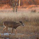 Sunset Wanderer - White-tailed deer by Jim Cumming