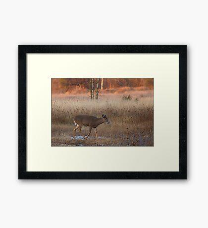 Sunset Wanderer - White-tailed deer Framed Print