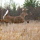Taking Flight - White-tailed Buck by Jim Cumming