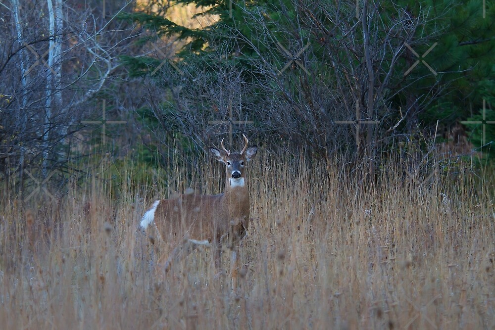 White-tailed Buck by Jim Cumming