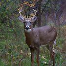 Prince II - White-tailed Buck by Jim Cumming