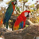 Macaws by Chet  King