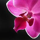 Pink Moth Orchid by Lissywitch