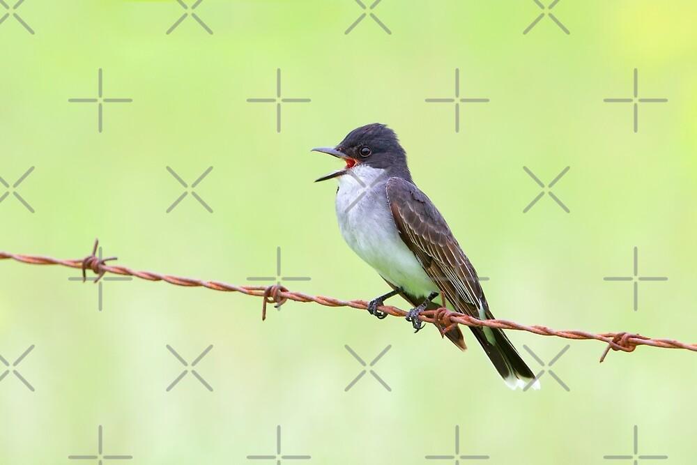 Eastern Kingbird by Jim Cumming